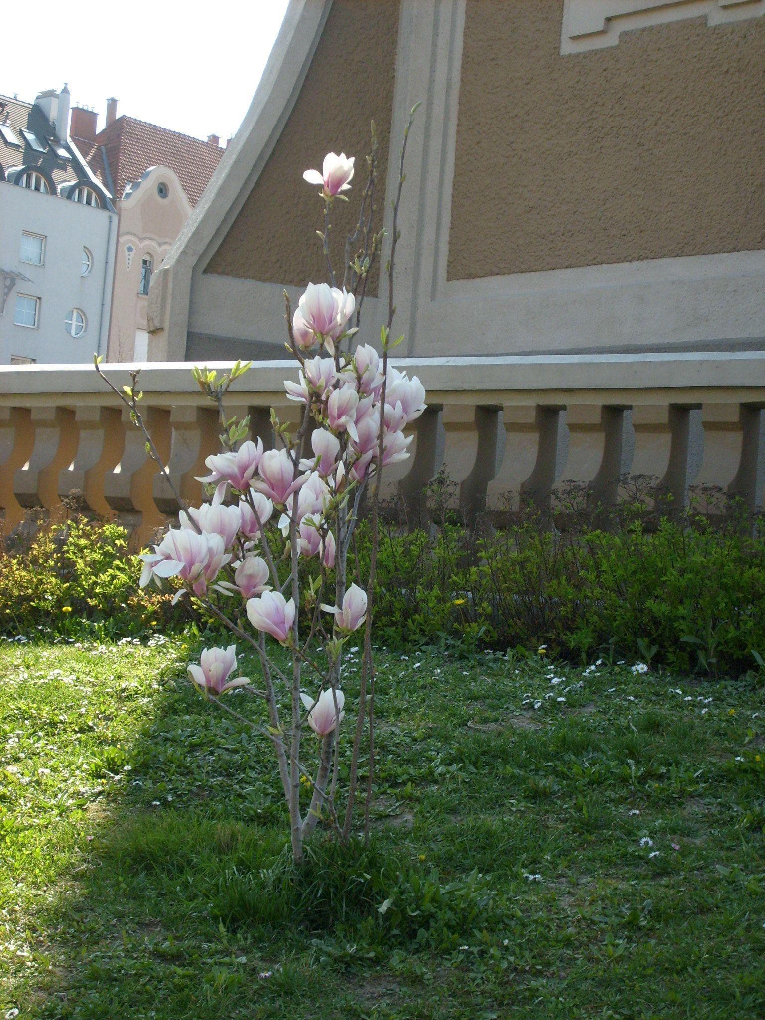 Virágzó magnólia a Szent István téren