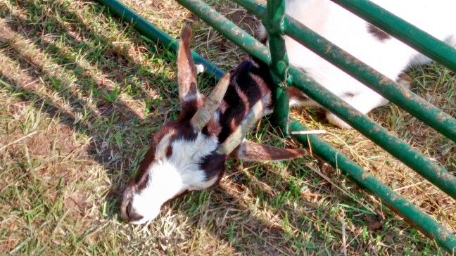 Aww poor goat. He was trying to get fresh grass..i pulled some up and gave it to him, he ate it so fast..