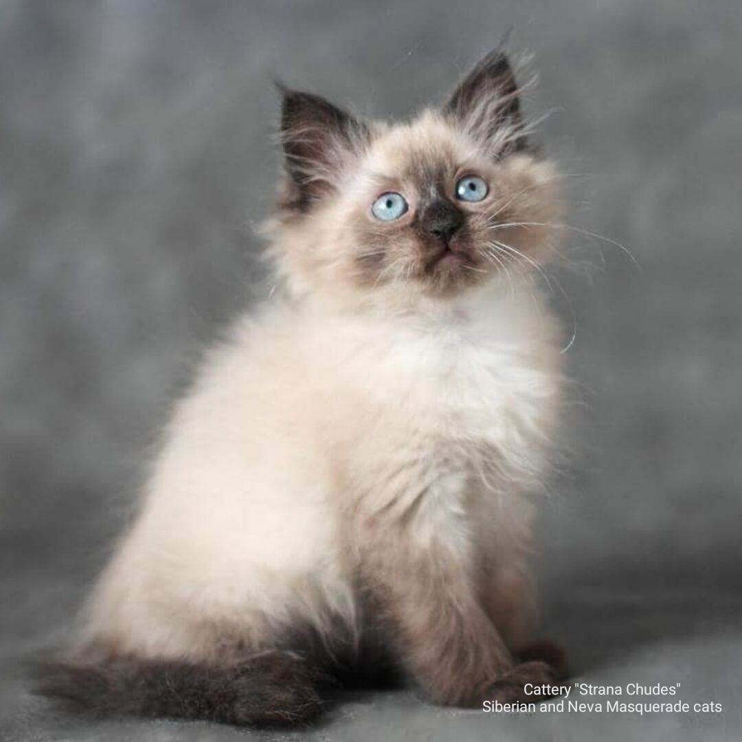 Russian Siberian Neva Masquerade Beautiful Cute Funny Kitten Color Seal Point Blue Eyes In The Catt Siberian Cats For Sale Why Do Cats Purr Beautiful Cats