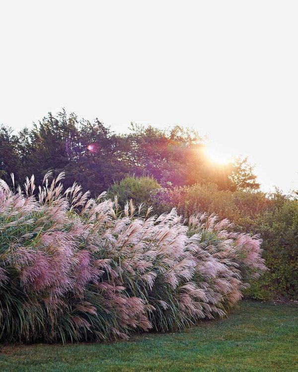 Ziergras ist ein wartungsarmes, dürreresistentes Pflanzenwunder - Welcome to Blog