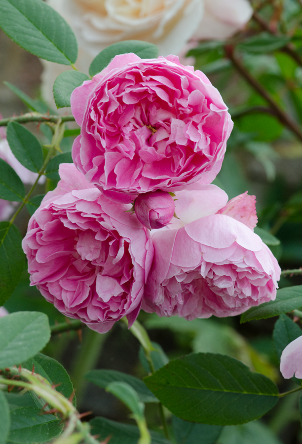 Pink rose flow flowers pinterest gardens flowers and pink rose flow big flowersmost mightylinksfo
