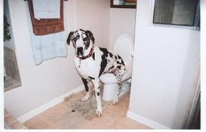 Great Dane Sits On Toilet Wish I Could Teach Mine To Do This J