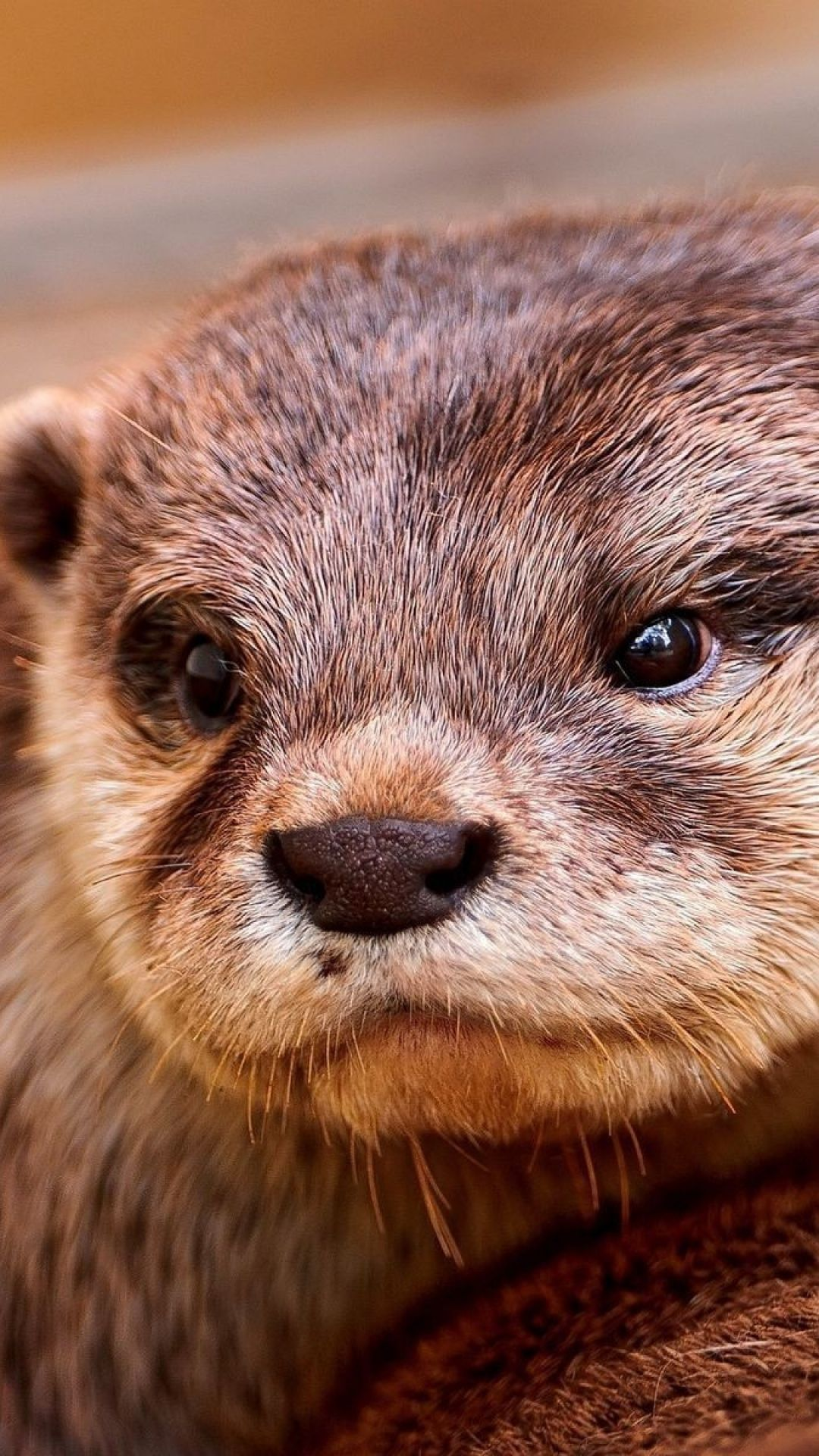 Otter Face Eyes Animal Otters Cute Animals Cute Animals