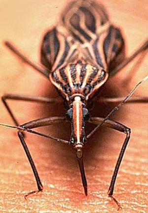 A Kissing Bug Animals Bugs Insects Bugs And Insects