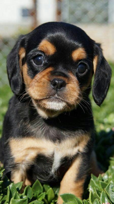 PUGALIER - Pug/Cavalier hybrid. What's brown black & cute ...