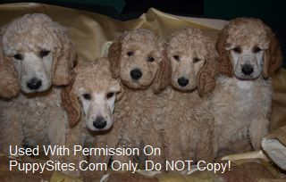 O Kaylyn Farms Standard Poodles Poodle Dogs Dogs Puppies