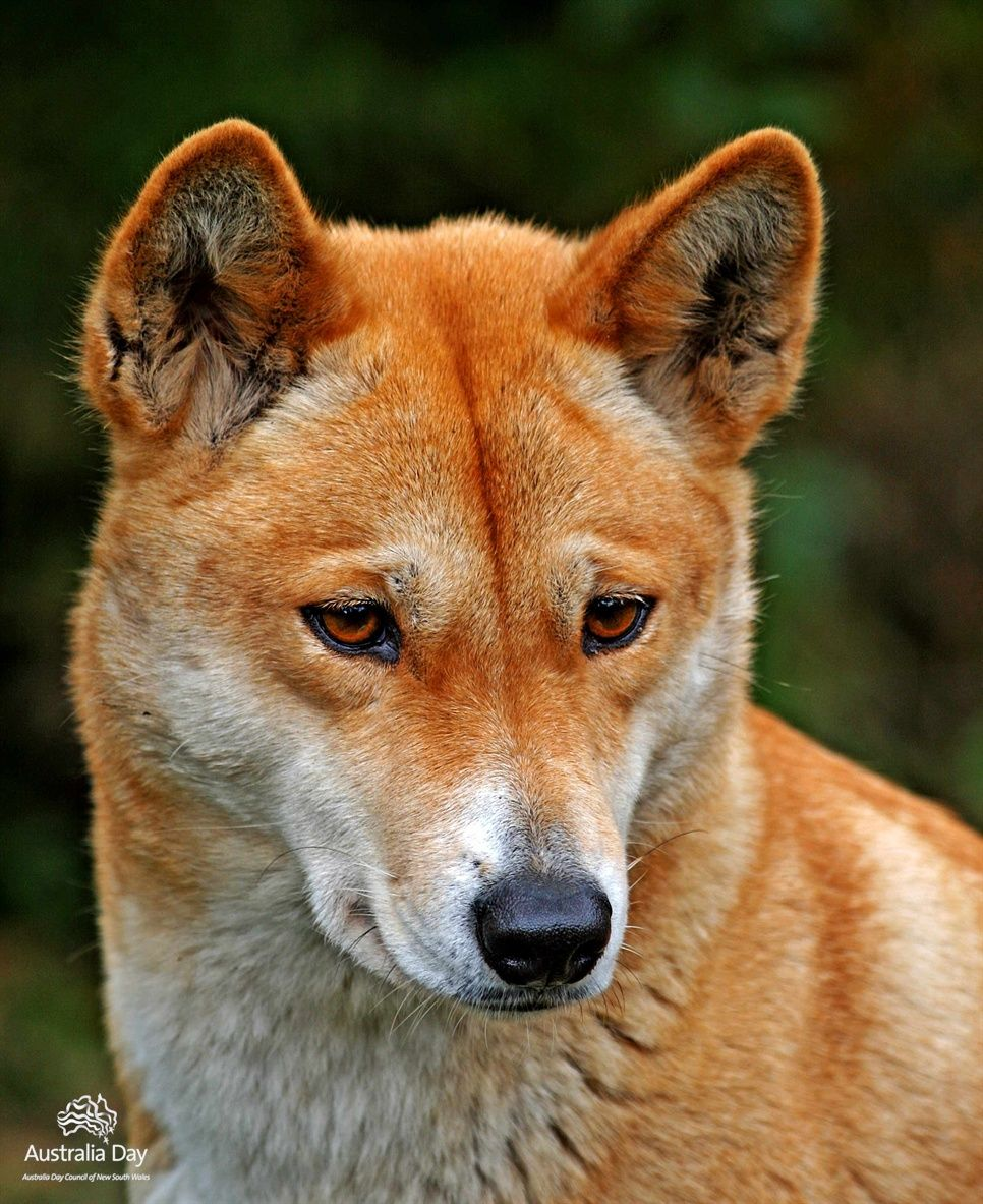 "Australian Native Shade Plants: Oceaniatropics: "" Australian Native Animals: A Dingo"