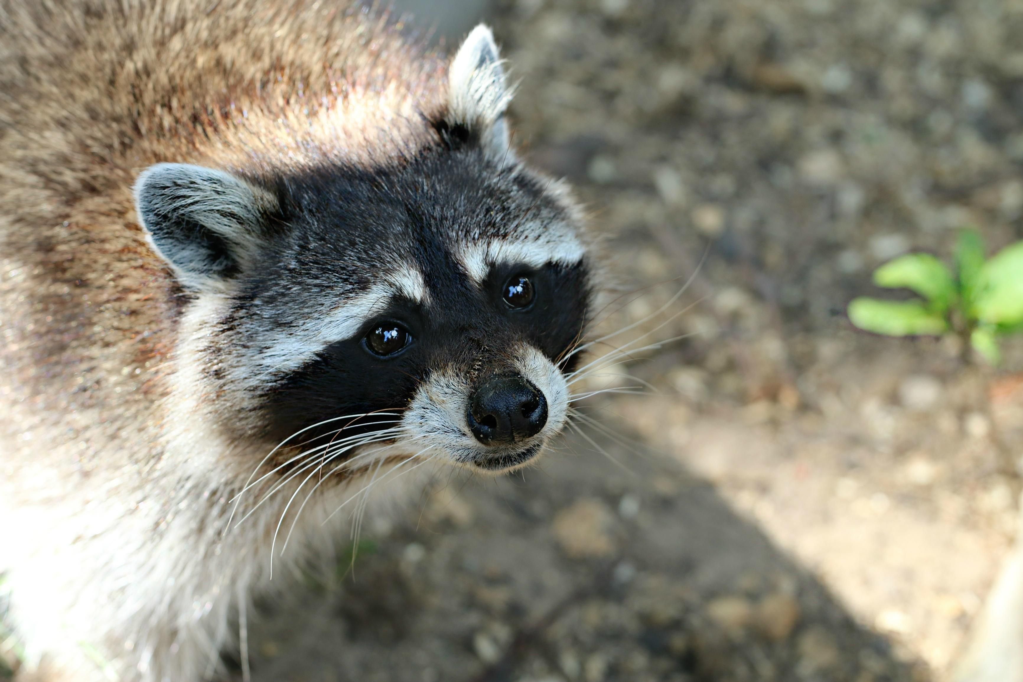 Please Love Me... (With images) Pet raccoon, Animals