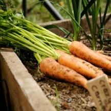How to grow carrots - Carrots are thought to have originated in the region of modern-day Afghanistan and have long been grown in western Asia. While orange rooted varieties are most common, white, red and purple varieties are older in origin and very popular in parts of Europe and Asia. Plantings of carrots can be enjoyed throughout the year.