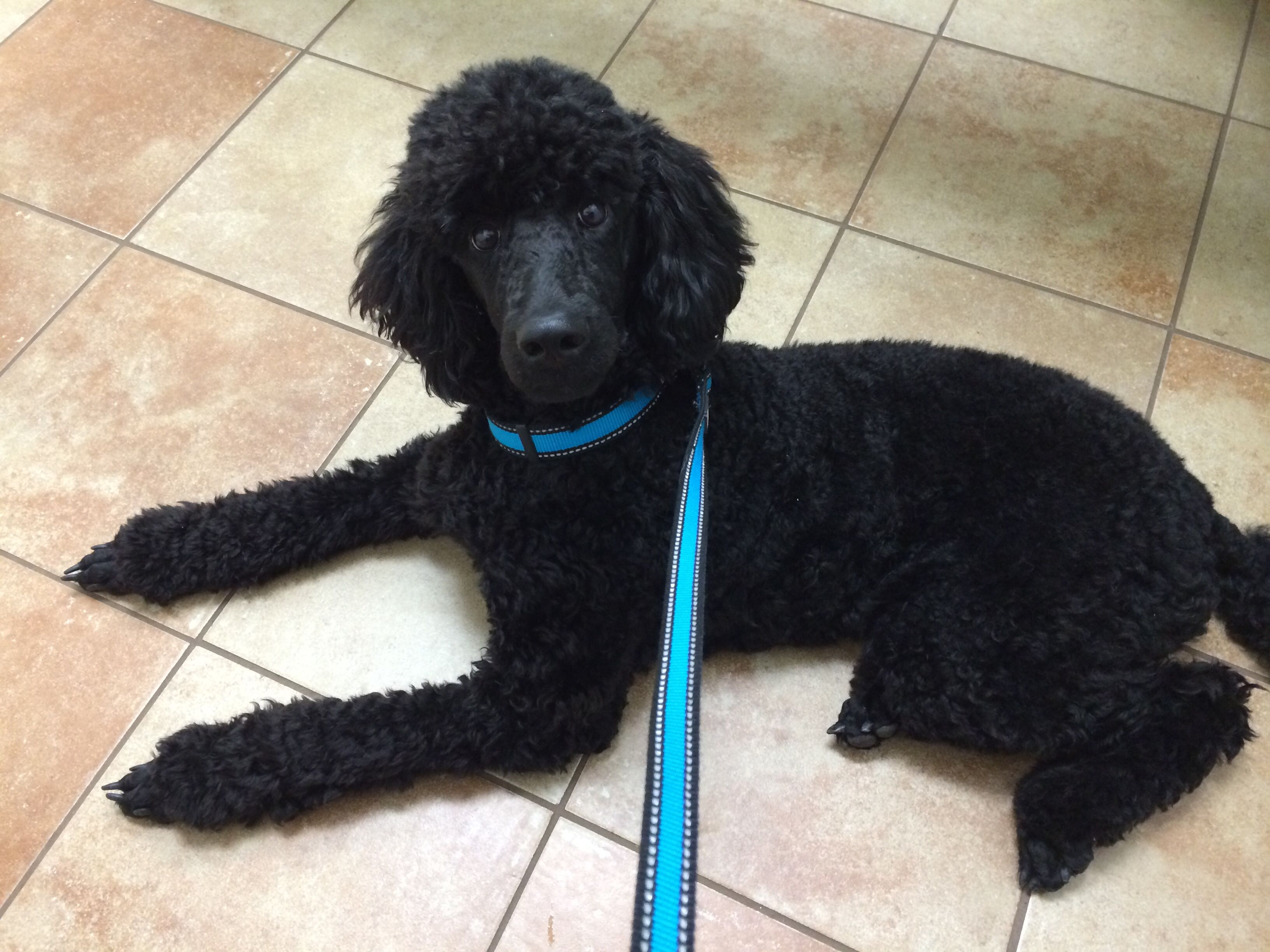 Standard 7 months old My sweet baby dog  | poodle heaven