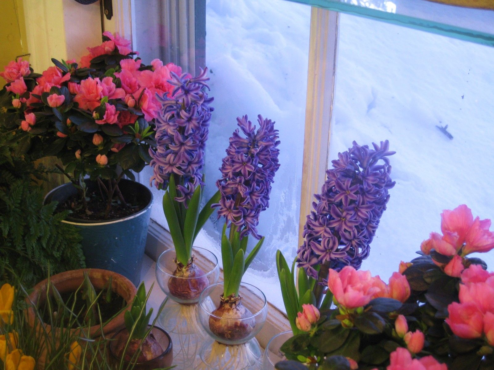 How to force hyacinths for winter bloom kids gardening with how to force hyacinths for winter bloom workwithnaturefo