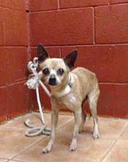 Downey California Urgent Senior Chihuahua Meet Fern A For