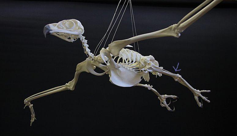 Golden Eagle Skeleton Diagram Boron Molecular Orbital B Photo Birds Of