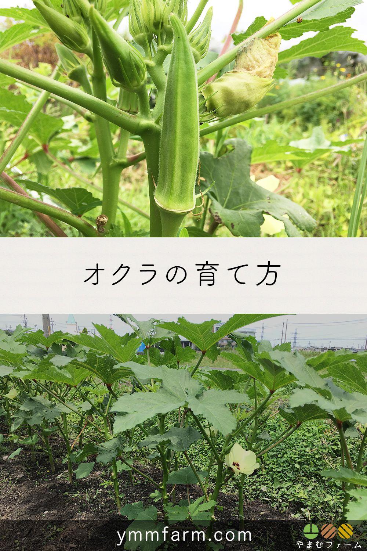 オクラの栽培方法 育て方のコツ 2020 家庭菜園 野菜作り 栽培