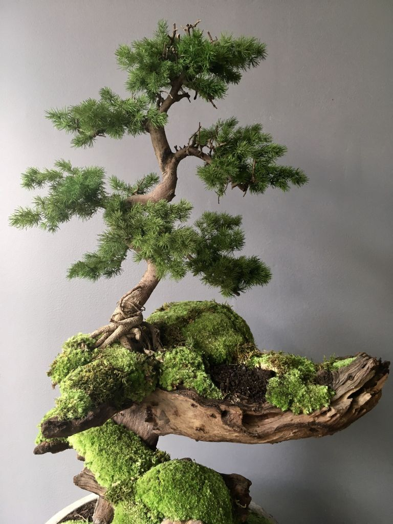 Awesome How Fast Do Juniper Bonsai Trees Grow Pics - Bonsai Gallery