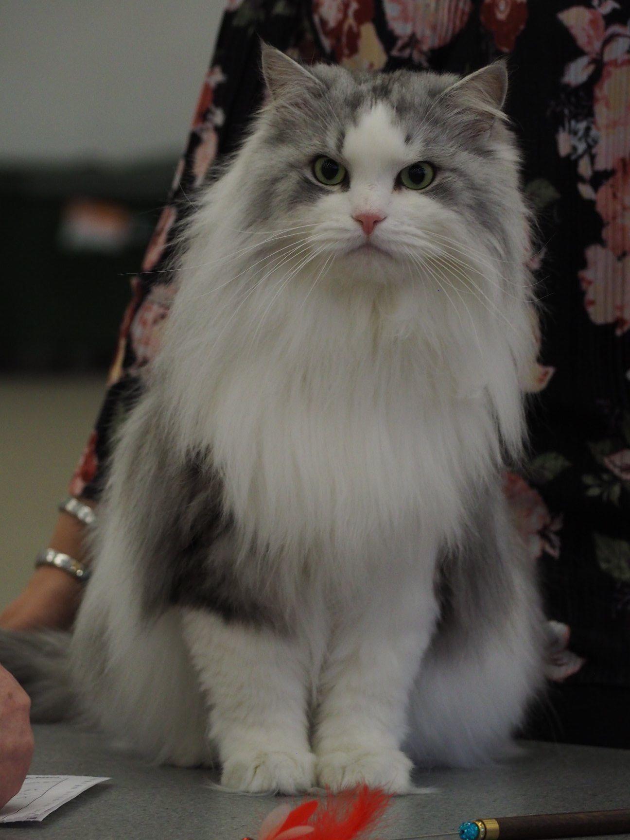 Pin By Jaana Siven On Karhunhovi Siberian Cat Animals Cats