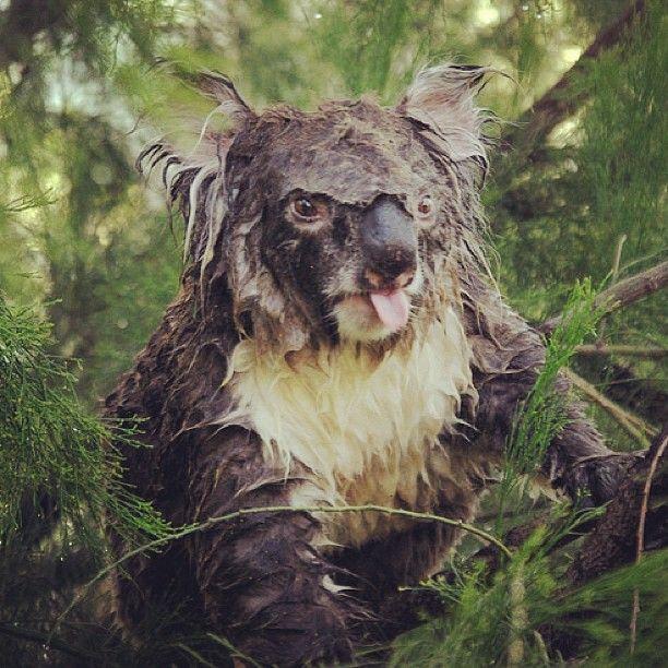 Angry Wet Koala Ha Koala Animals Koala Bear