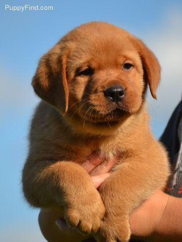 Pin By Rebecca Dexter On Puppers Labrador Retriever Lab Puppies Labrador