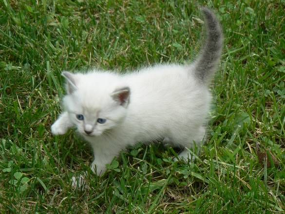White Cat Grey Ears | Hyden, KY - this is a little white male kitten with gray ears and tail ...