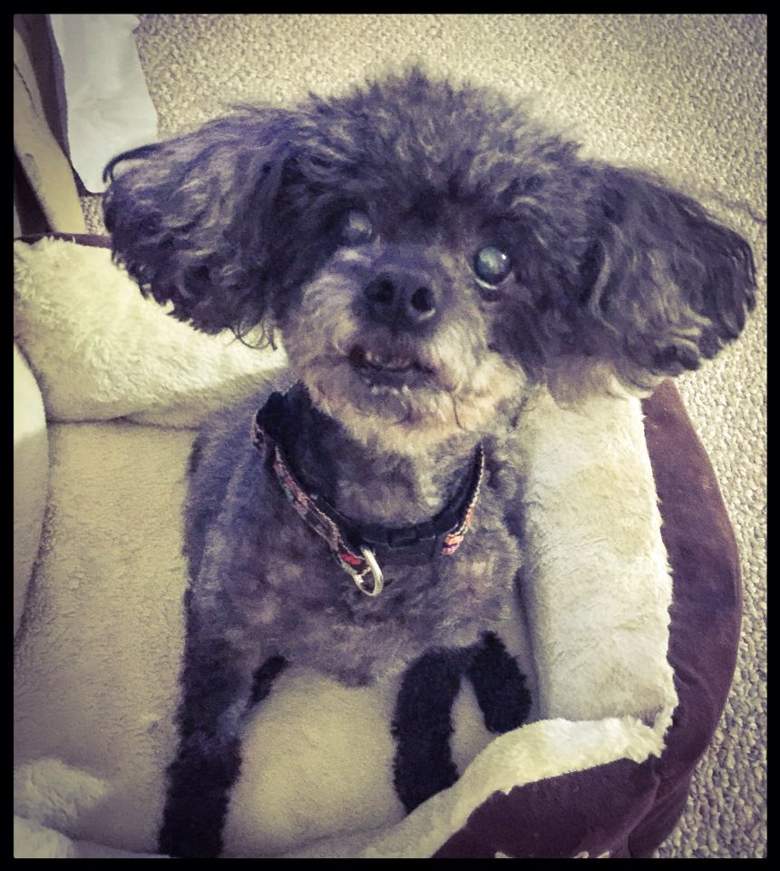 Kayla the toy poodle! Gimme treats! Toy poodle, Poodle