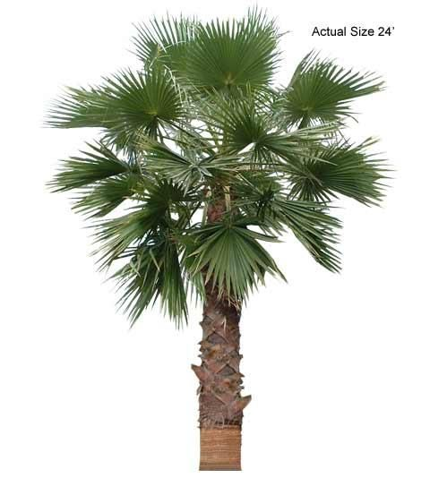 California Fan Palm Tree Welcome To Your Local Online Nursery Offering And Affordable Whole Ed Plants Trees Packaged