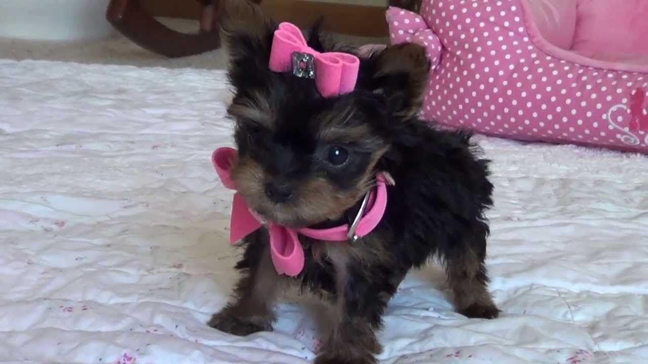 Teacup Yorkie Puppy Princess Grace Teacup Yorkie Puppy Yorkie