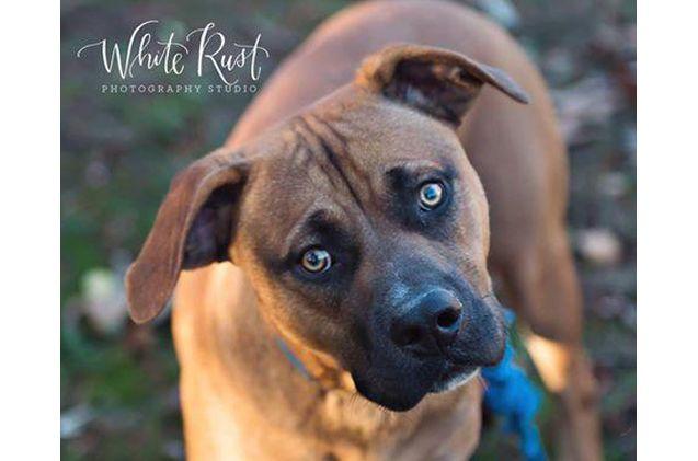 Adoptable Dog Of The Week Cider Petguide Dog Adoption Labrador Retriever Golden Retriever Labrador