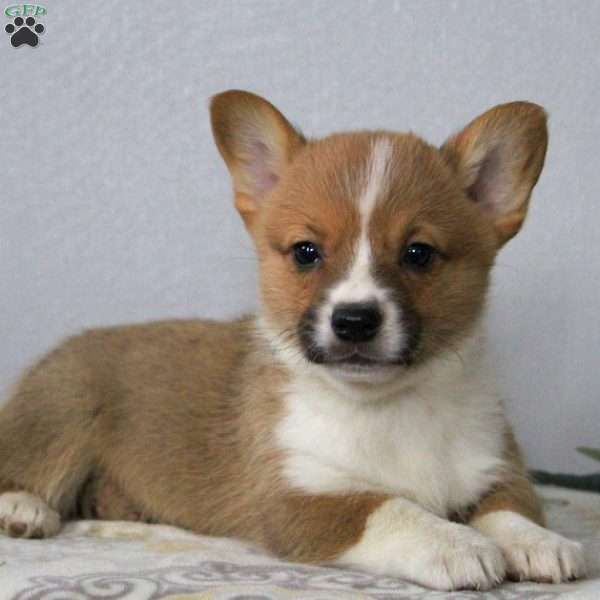 Kelsey Pembroke Welsh Corgi Puppy For Sale In Pennsylvania Welsh