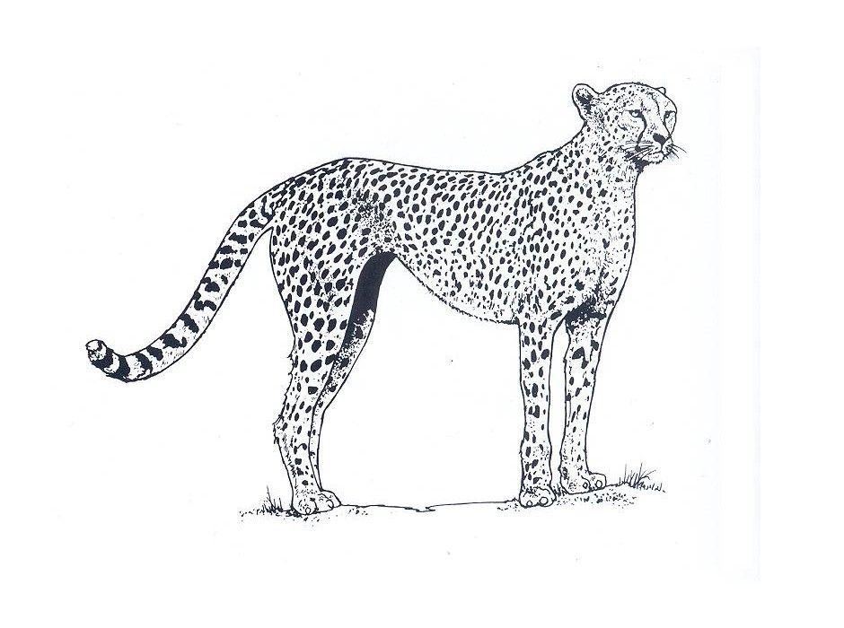 cheetah en luipaard tekeningen cheetah tekenen mandala