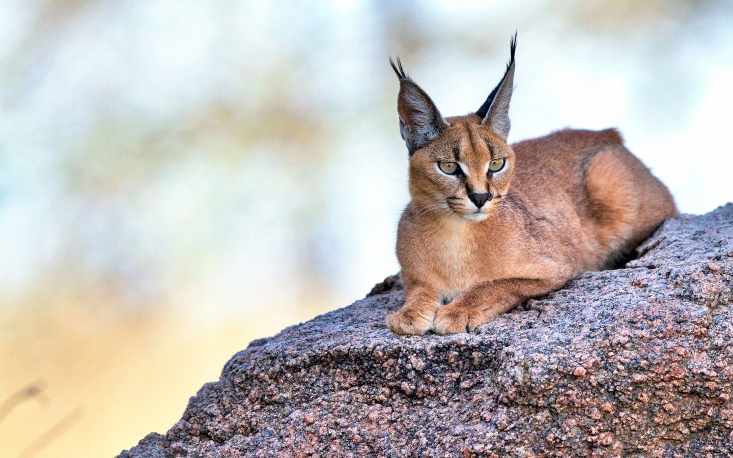 Download wallpaper caracal, eyes, ears, cats resolution ...