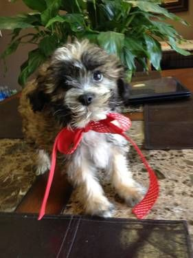 Dogs Puppies For Sale In Detroit Ebay Classifieds Kijiji Page 1 Puppies Cute Animals Dogs