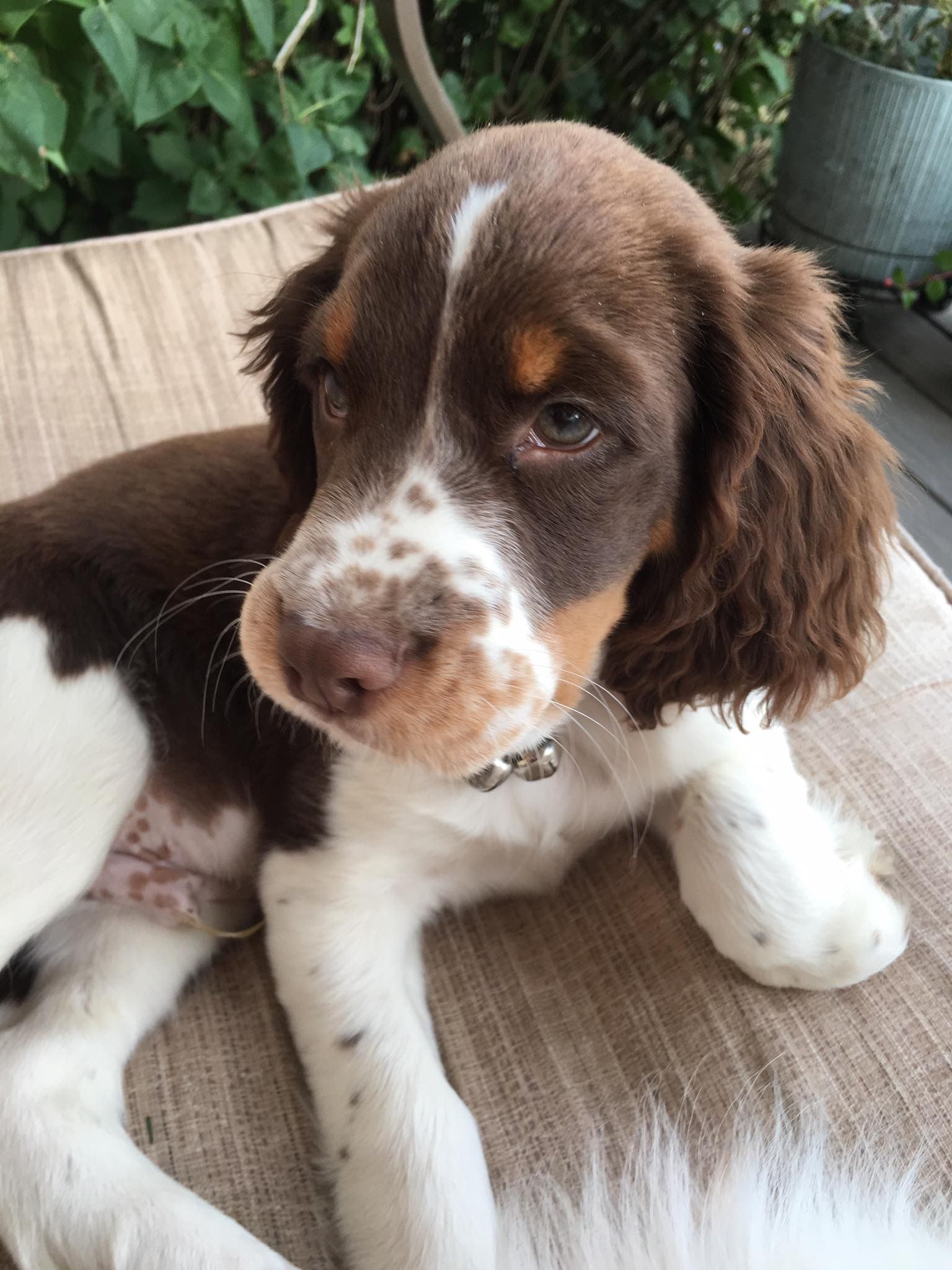 How To Have An Obedient And Happy Dog In 2020 Cocker Spaniel Puppies Springer Puppies Springer Spaniel Puppies