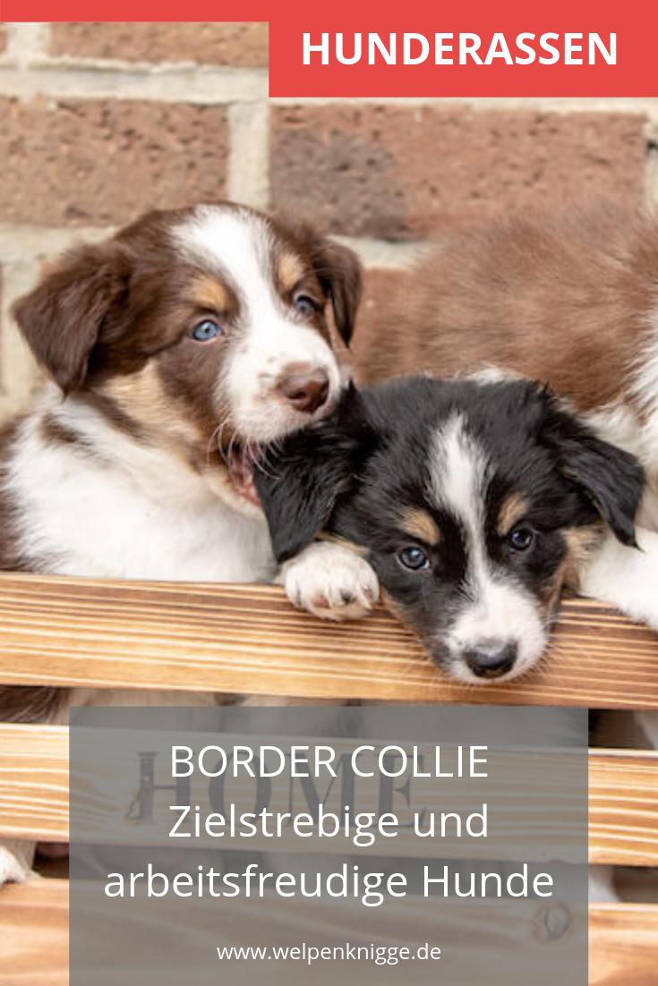 Border Collie Welpen Hunde Rassen Welpen Border Collie Welpen