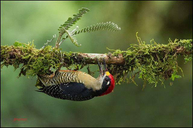 Black-cheeked Woodpecker | Black-cheeked Woodpecker (Melaner… | Flickr