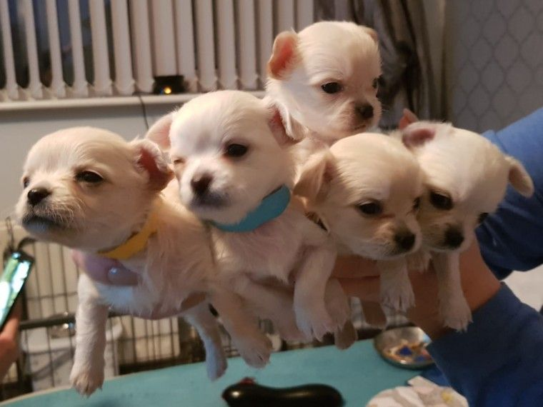 White Long Haired Chihuahua Puppies Responsible Dog Owner Pet Breeds Long Haired Chihuahua Puppies
