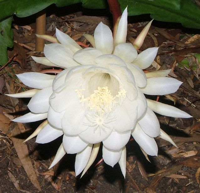 Wijayakusuma Flower Also Called Moon Or Night Blooming Ceres Grows In The Highlands Of Papua Indonesia This Is A Very Special That Blooms