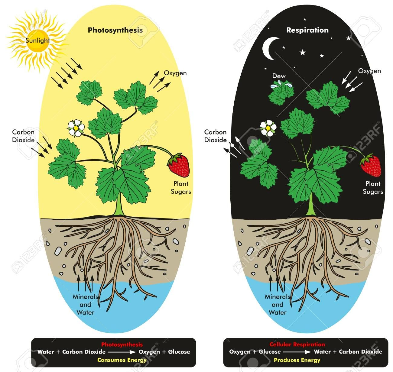 Photosynthesis and Cellular Respiration Process of Plant