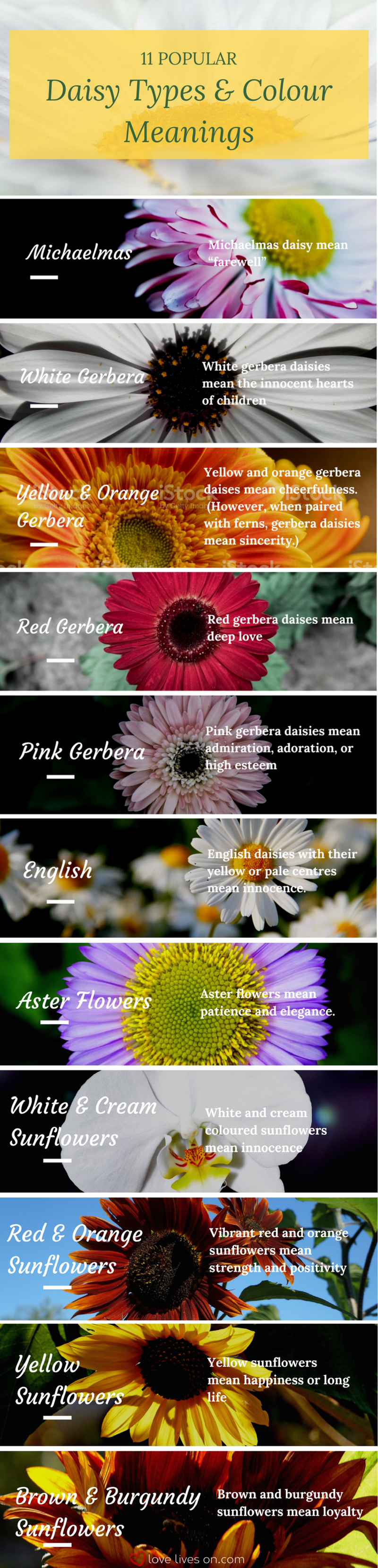 Infographic 11 Different Types Colour Meaning Of Daisies Create