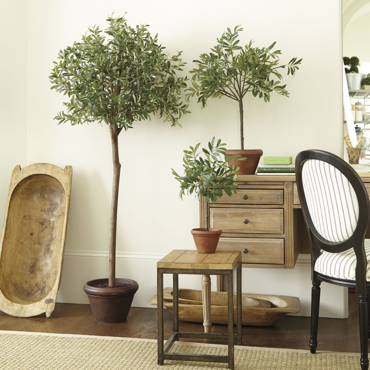 Potted Olive Tree in a larger pot....