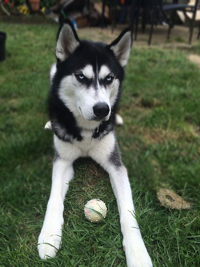 Do You Fake Throw The Ball To Your Dog Anuko The Husky Is Not