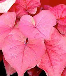 Pink Charm Caladium Jensen S Nursery And Garden Centre