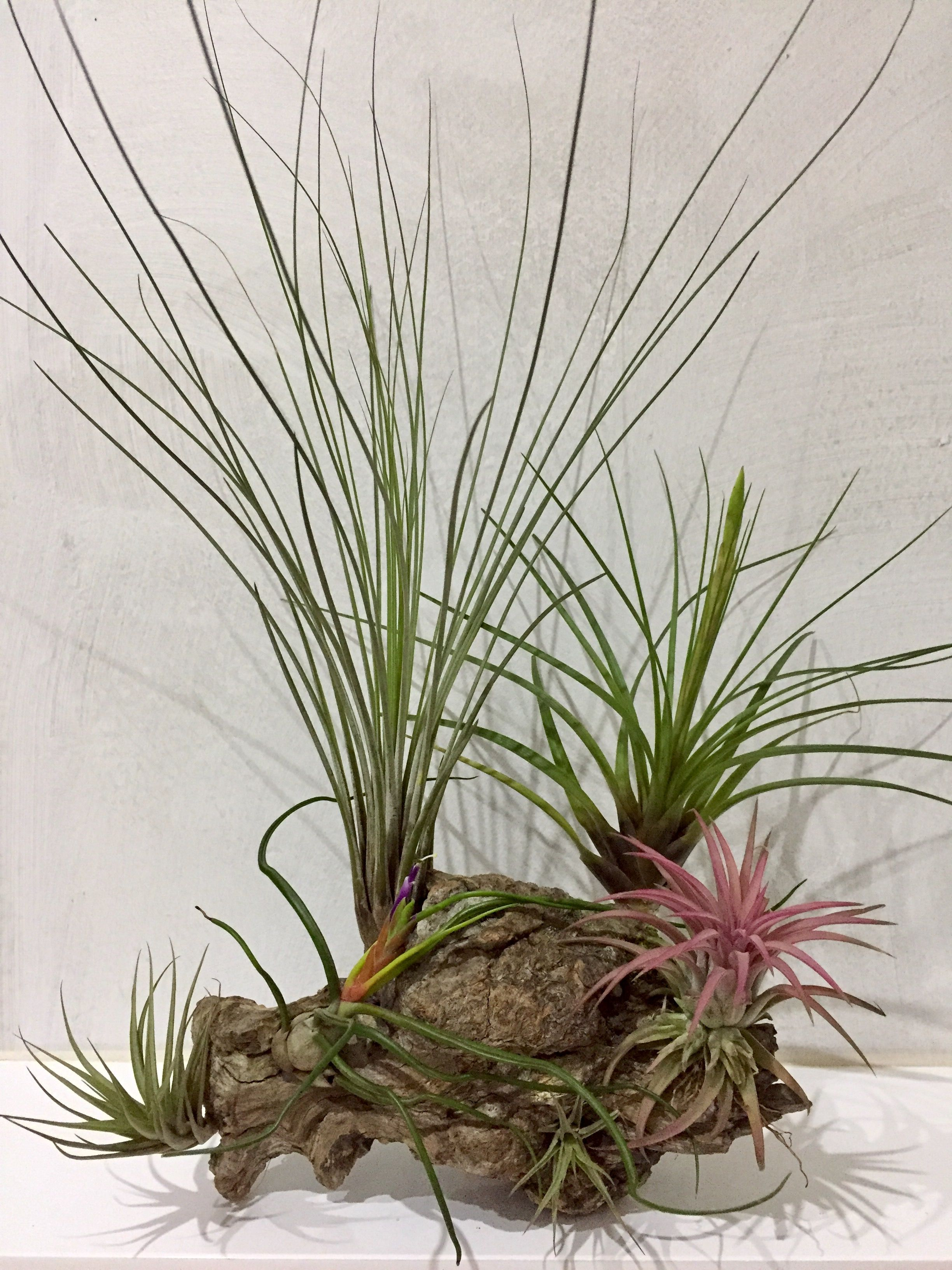 Pin By Narcis Guino On Tillandsia Pinterest Air Plants And Plants