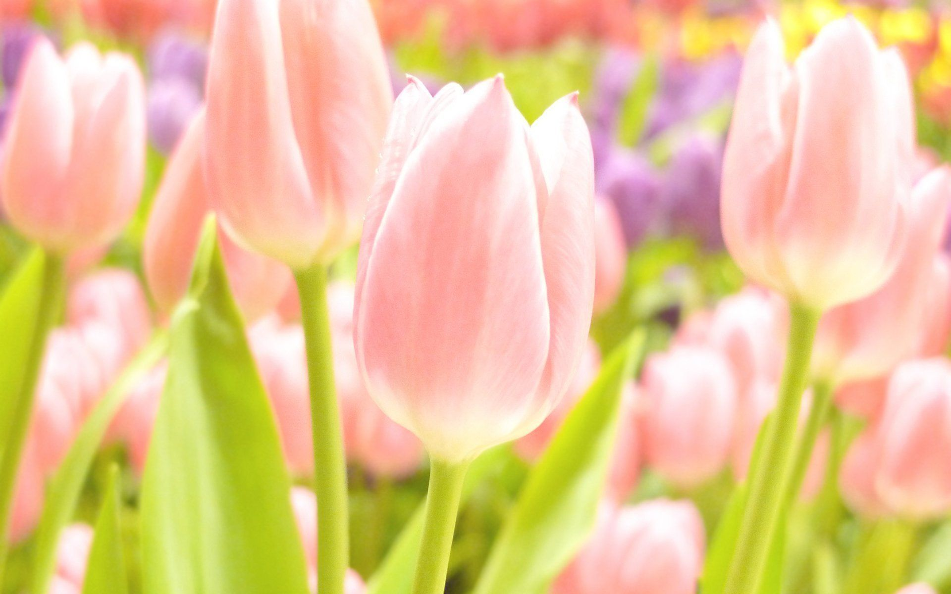Colorful spring flowers colors tulips nature desktop backgrounds colorful spring flowers colors tulips nature desktop backgrounds mightylinksfo Image collections