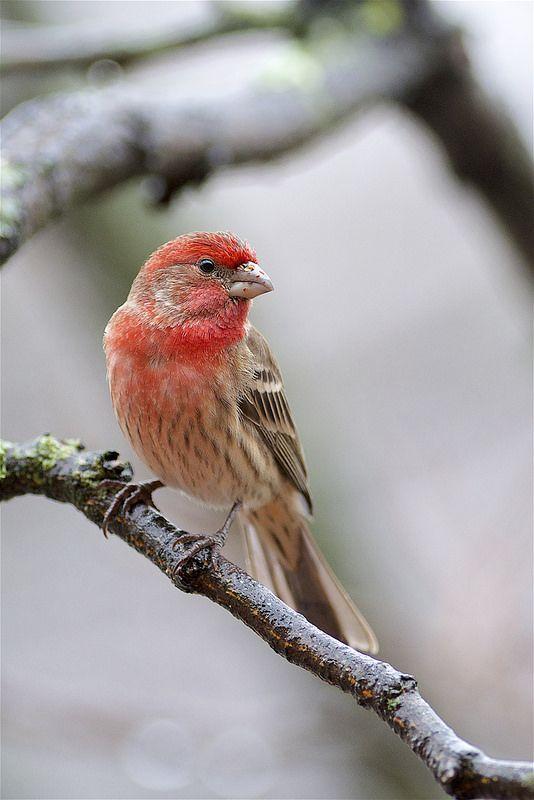 Bird House Finch