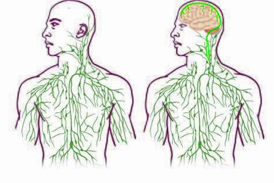 Anatomie: Lymphbahnen im menschlichen Gehirn entdeckt | Pinterest ...