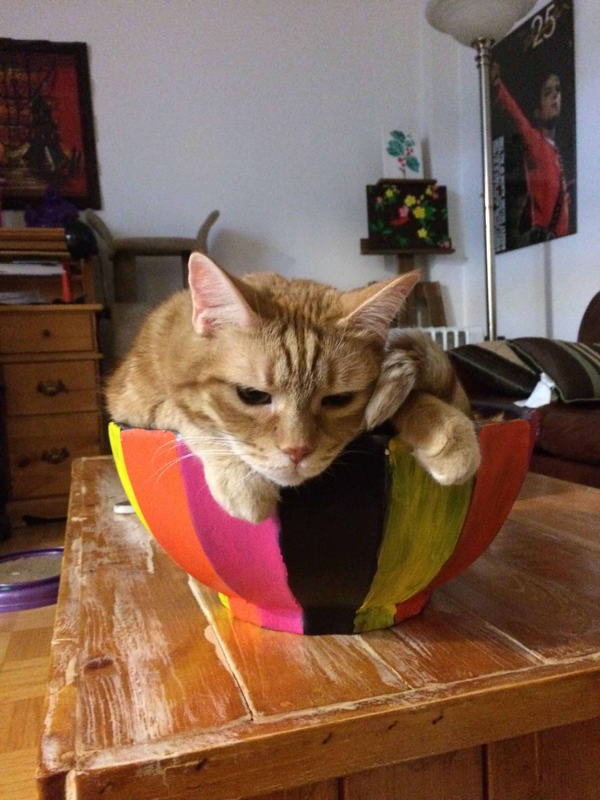 Shmulie Cat | Pawshake Toronto