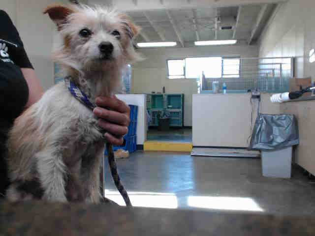 I am an unaltered male, white and tan Chihuahua Smooth