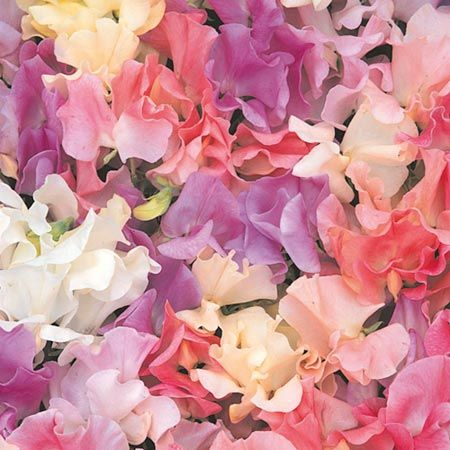 HEIRLOOM PASTEL MIX: A superb collection of old-fashioned sweet peas in soft, pastel shades of apricot, pink, sky blue, lavender, and creamy white. They are extremely fragrant, and excellent for cutting. Vigorous vines grow to 6 feet or more tall.