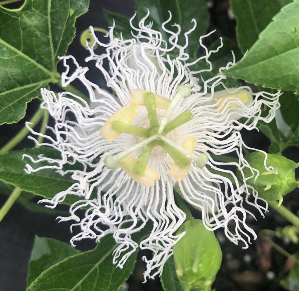 Passiflora Incarnata Passion Vine White Flower In 2020 Passion Vine Passiflora White Flowers