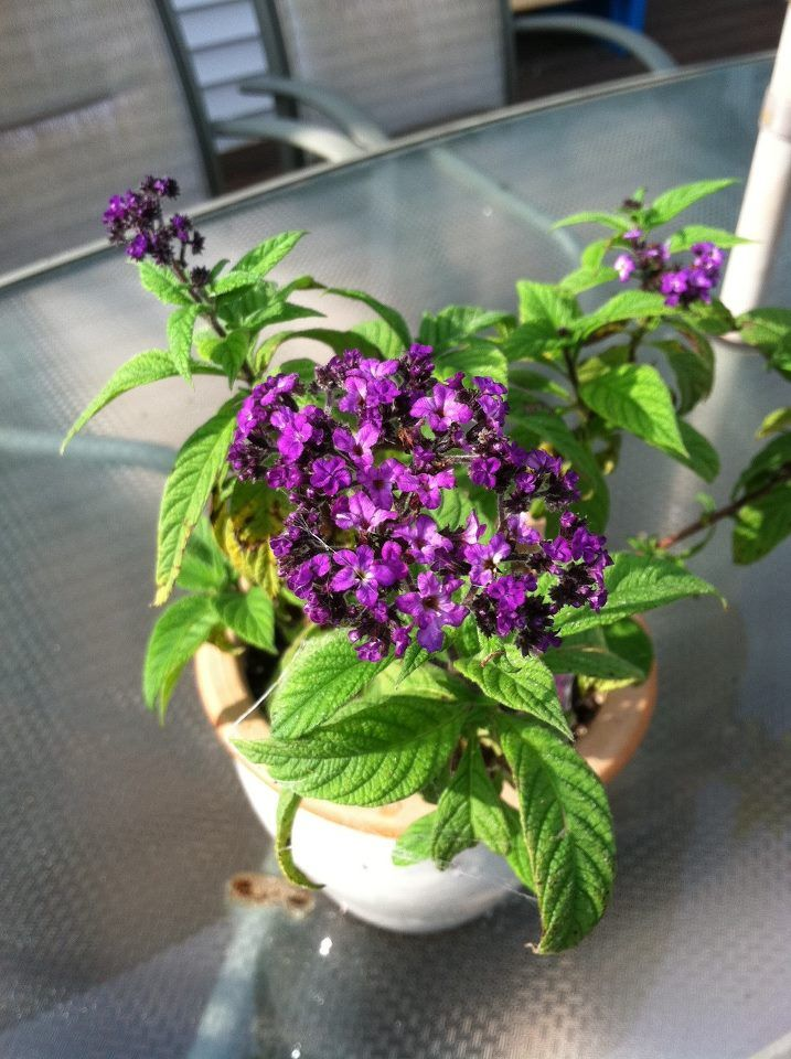 Heliotrope Warning Little Shop Of Horrors! (toxic plants